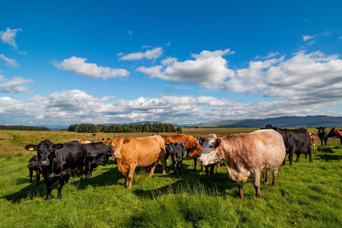 Native herd of beef suckler cows summer grazing the moor at Blairfad Farm, near Drymen